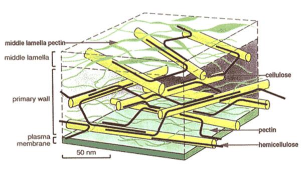 Hình 6: vị trí của pectin trong thành tế bào trái cây