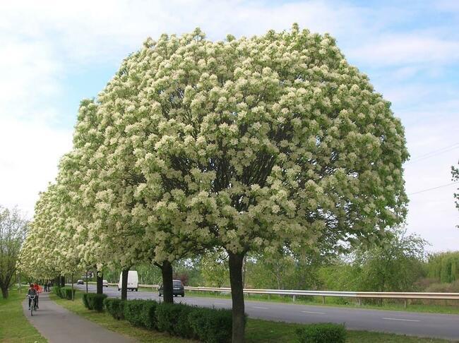 Nhựa cây Manna chứa đường manitol giúp điều hòa nhu động ruột
