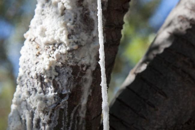 Nhựa cây tần bì chảy ra từ vết rạch trên thân cây