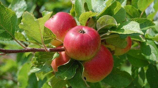 Siêu trái cây Táo tây cực kỳ nhiều chất dinh dưỡng